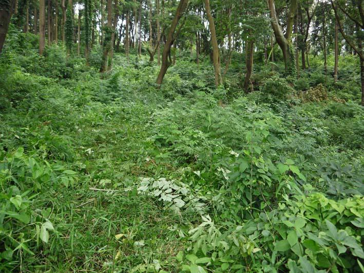 六国見山で下草刈りの最中にサンショウの木発見6・26_c0014967_8523852.jpg