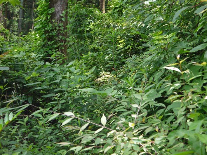 六国見山で下草刈りの最中にサンショウの木発見6・26_c0014967_8525892.jpg