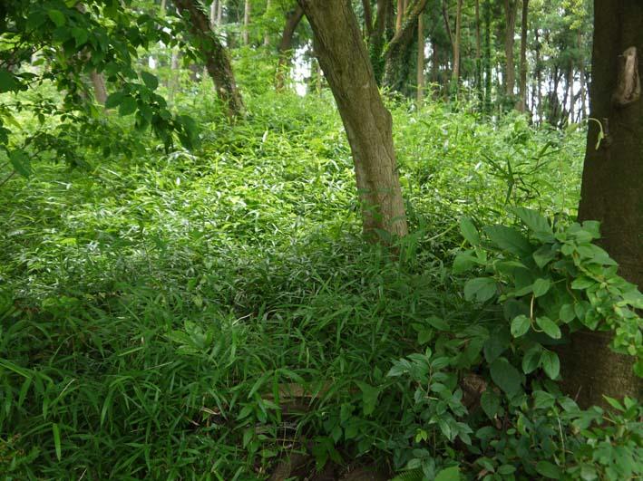 六国見山で下草刈りの最中にサンショウの木発見6・26_c0014967_852694.jpg