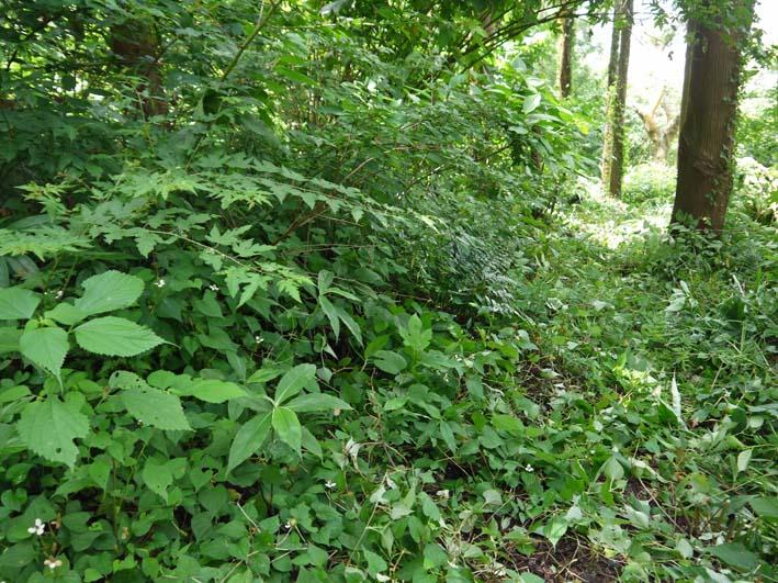 六国見山で下草刈りの最中にサンショウの木発見6・26_c0014967_856681.jpg