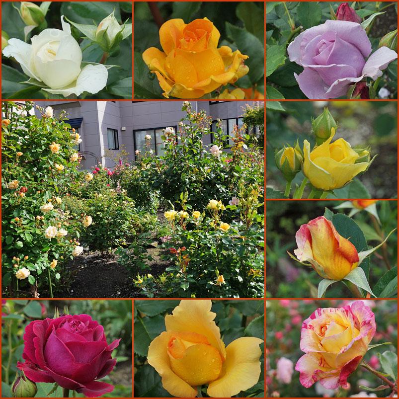 薔薇の庭_d0162994_1456392.jpg