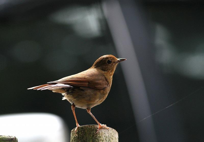 台湾鳥見旅行(その6)・・・_c0213607_17384667.jpg