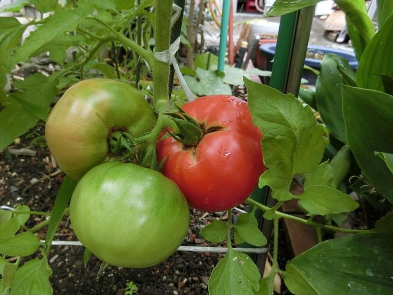 6月29日(水)家庭菜園が豊作_d0278912_22345230.jpg