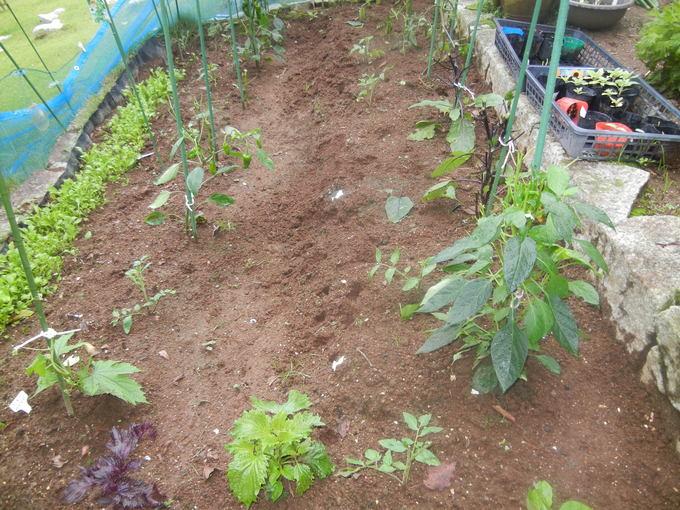 '16,6,28(水)キョンが畑のトマトもナスも全部食べちゃった!_f0060461_10404060.jpg