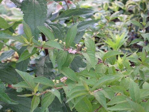 盆花の桔梗が咲きだしました_a0243064_14101881.jpg