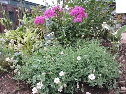 盆花の桔梗が咲きだしました_a0243064_1443259.jpg