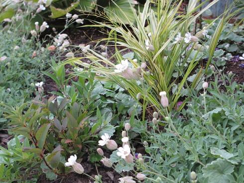 盆花の桔梗が咲きだしました_a0243064_1445513.jpg
