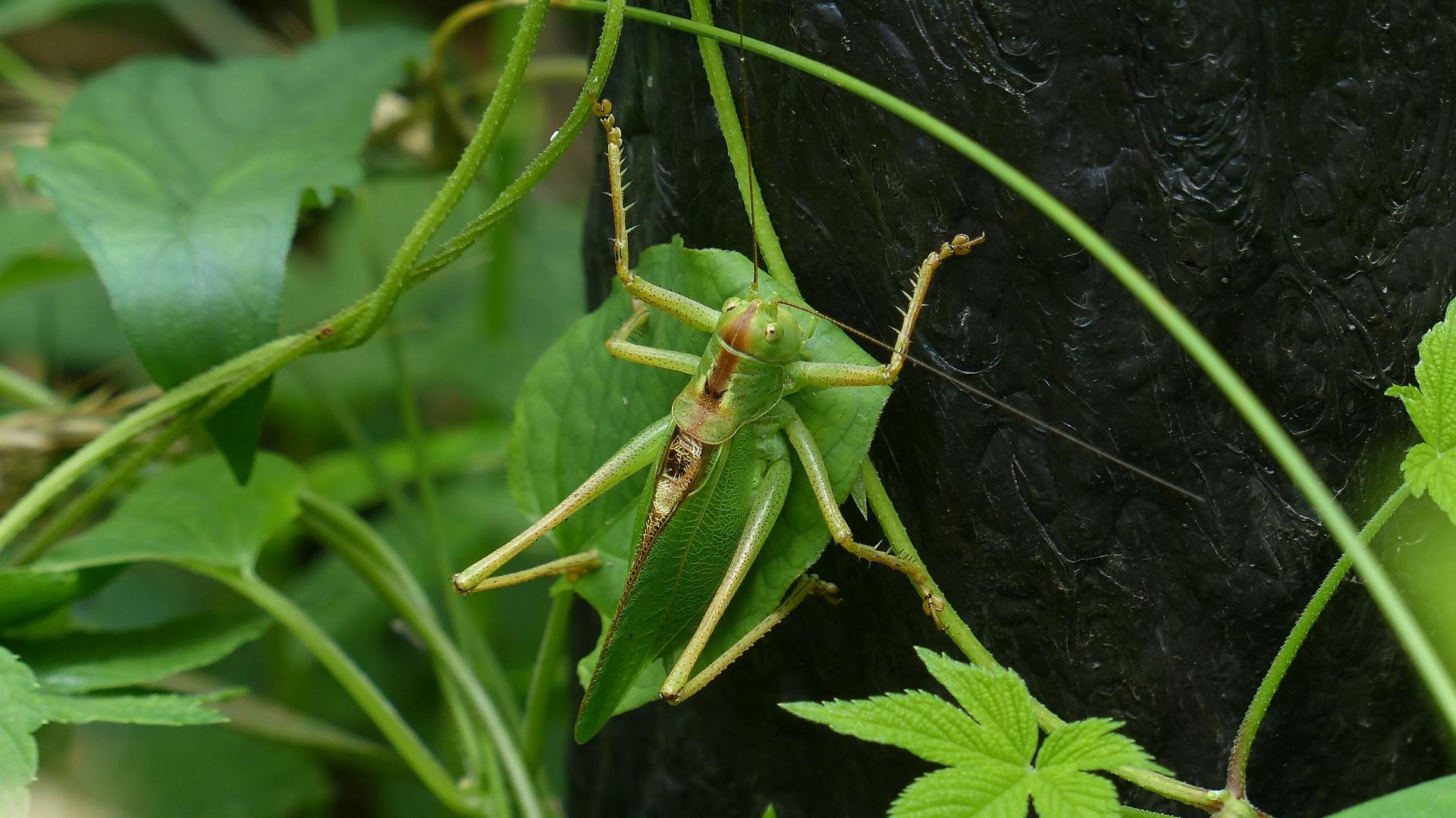 昆虫の森シリーズ 最強のバッタ_a0185081_1431270.jpg