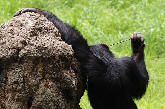逞しいチンパンジー_b0016600_1398.jpg
