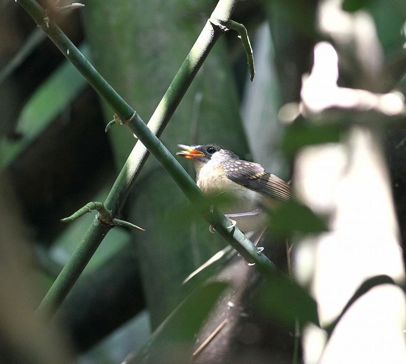 台湾鳥見旅行(その7)・・・_c0213607_20074996.jpg