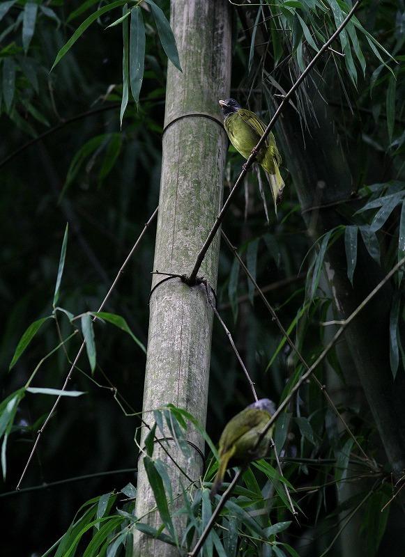 台湾鳥見旅行(その7)・・・_c0213607_20085655.jpg