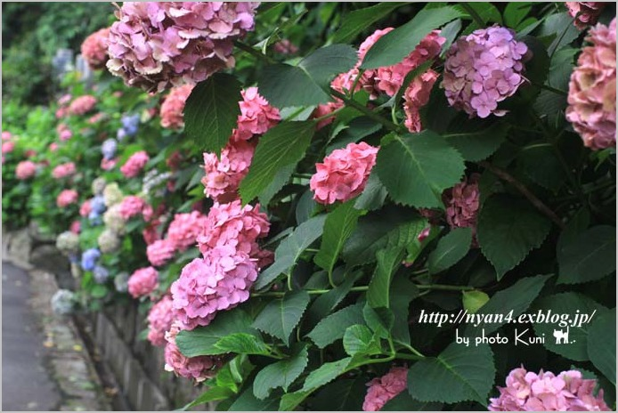 色あせても紫陽花・・・・_f0166234_0294330.jpg