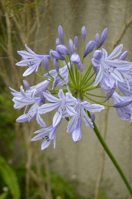 涼やかな花たち_a0233896_17165053.jpg