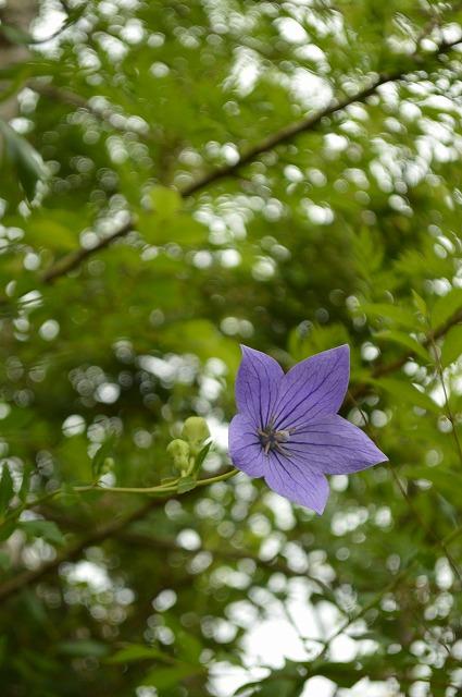 涼やかな花たち_a0233896_17171830.jpg