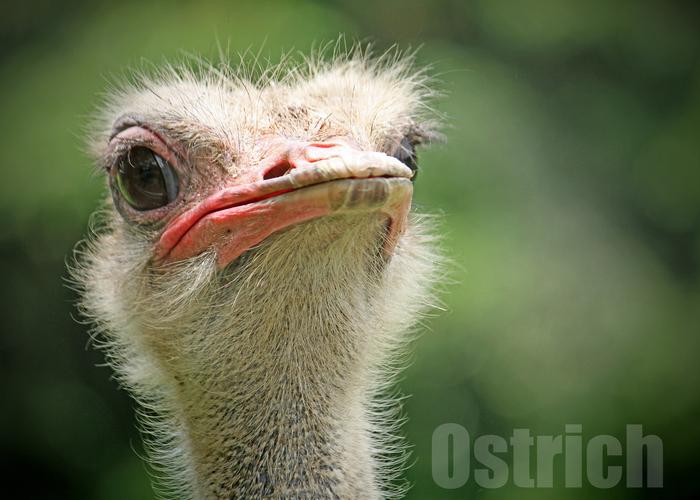 ダチョウ:Ostrich_b0249597_514584.jpg