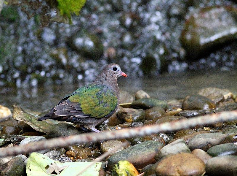 台湾鳥見旅行(その8)・・・_c0213607_20393539.jpg