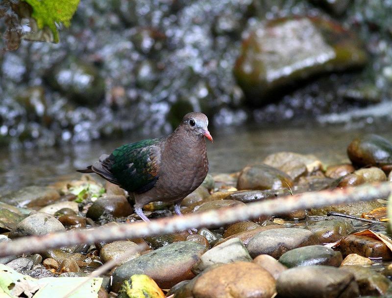 台湾鳥見旅行(その8)・・・_c0213607_20403774.jpg