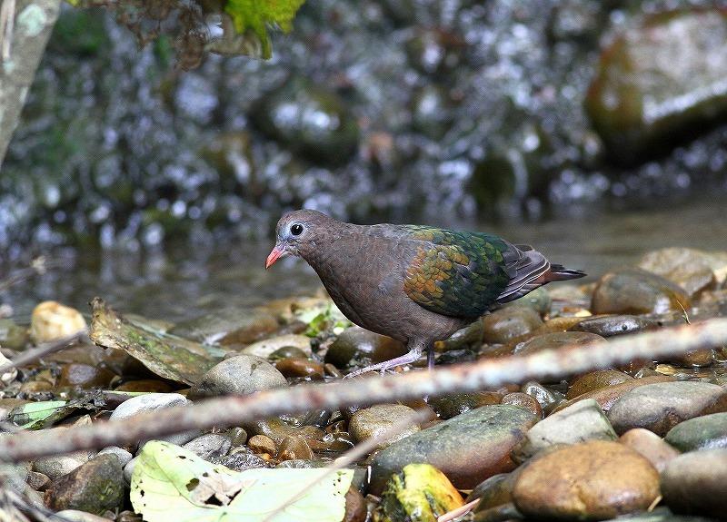 台湾鳥見旅行(その8)・・・_c0213607_20411577.jpg