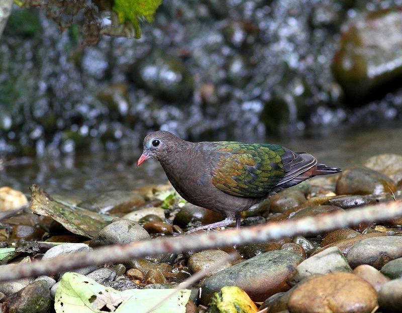 台湾鳥見旅行(その8)・・・_c0213607_20412078.jpg