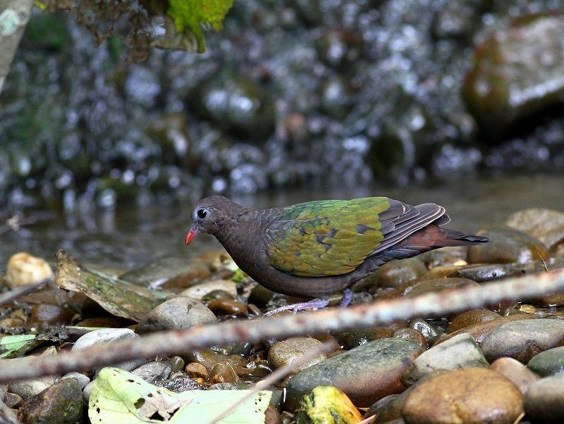 台湾鳥見旅行(その8)・・・_c0213607_20430715.jpg