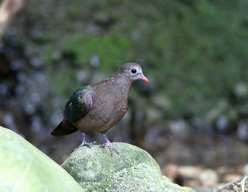 台湾鳥見旅行(その8)・・・_c0213607_20431184.jpg