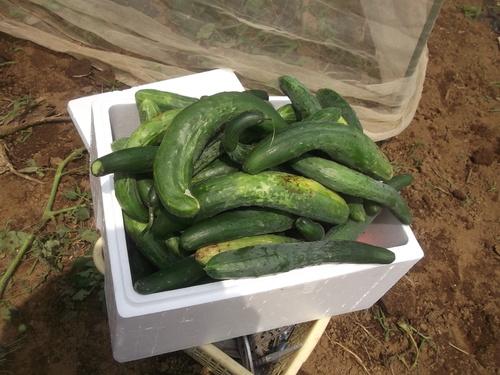 野菜の収穫...どうするよ~_b0137932_172546.jpg