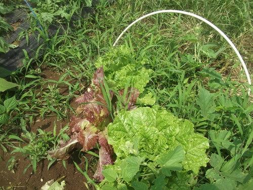 野菜の収穫...どうするよ~_b0137932_176489.jpg