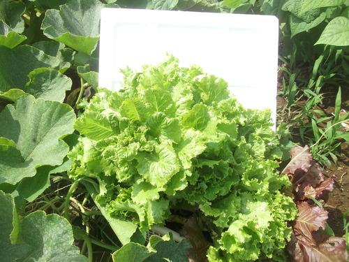 野菜の収穫...どうするよ~_b0137932_177580.jpg
