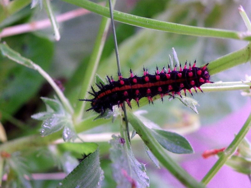 キアゲハ幼虫他 庭にて_d0254540_7413533.jpg