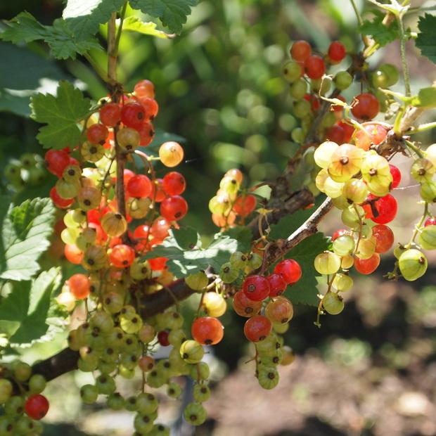 庭のベリーたち_a0292194_0153055.jpg