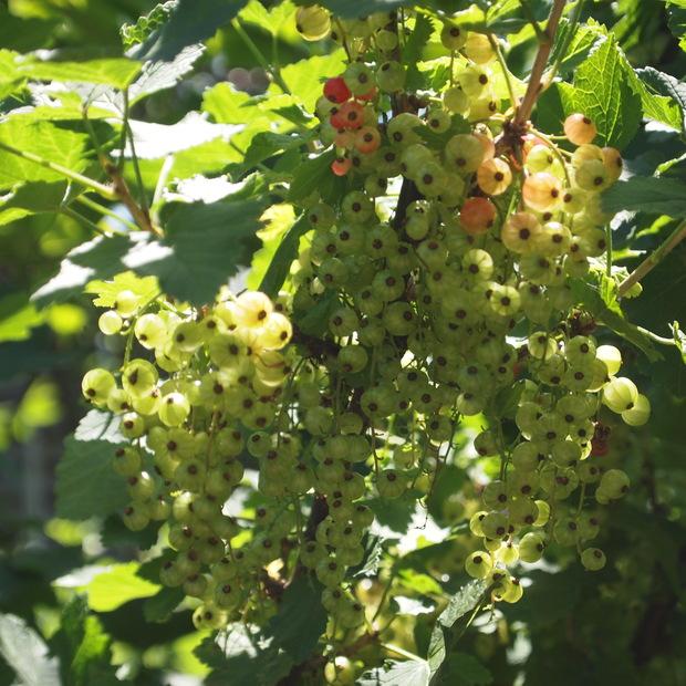庭のベリーたち_a0292194_0155581.jpg