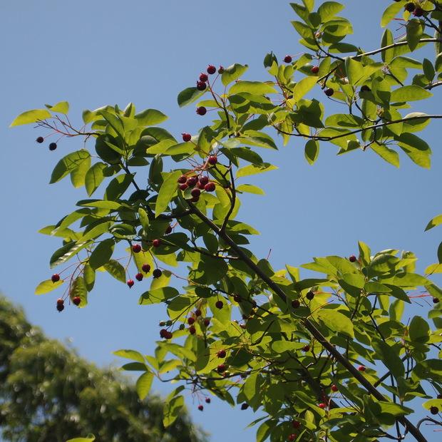 庭のベリーたち_a0292194_0255283.jpg