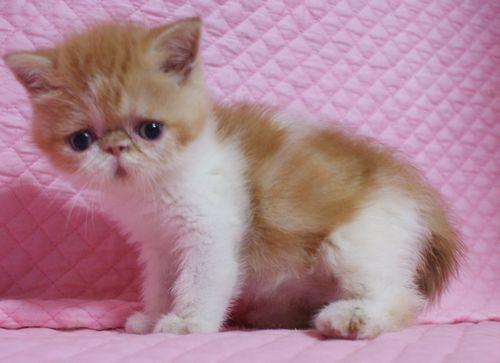 エキゾチックショートヘアー赤ちゃん 赤い姉妹 家族募集 5月23日生まれ_e0033609_19452138.jpg