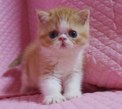 エキゾチックショートヘアー赤ちゃん 赤い姉妹 家族募集 5月23日生まれ_e0033609_19465137.jpg