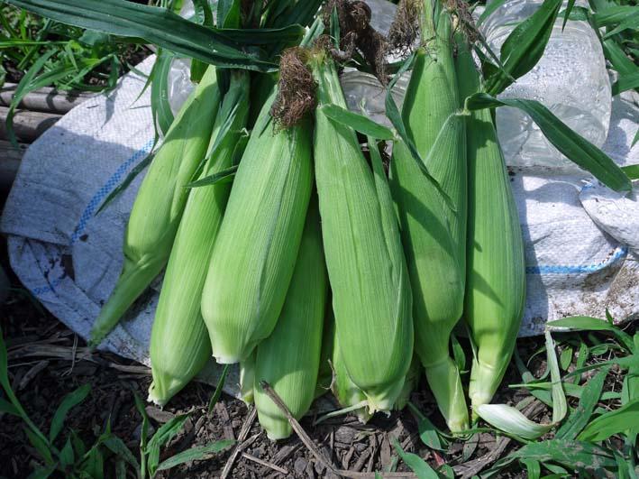 トウモロコシ収穫、孫たちにお届け&スイカ 結球7・2_c0014967_1801059.jpg