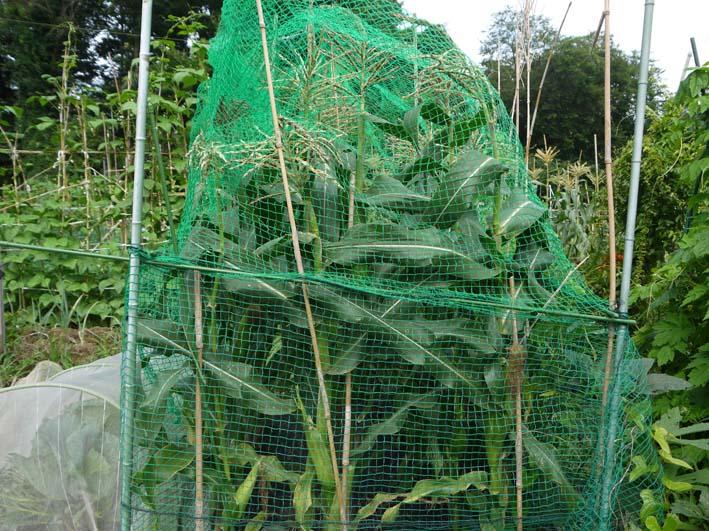 トウモロコシ収穫、孫たちにお届け&スイカ 結球7・2_c0014967_181636.jpg
