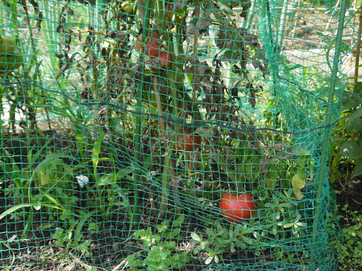 トウモロコシ収穫、孫たちにお届け&スイカ 結球7・2_c0014967_185856.jpg