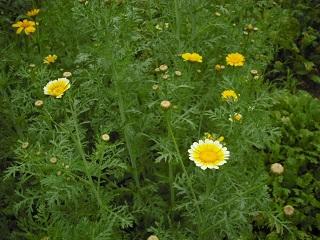 春菊の花_c0216937_11512100.jpg