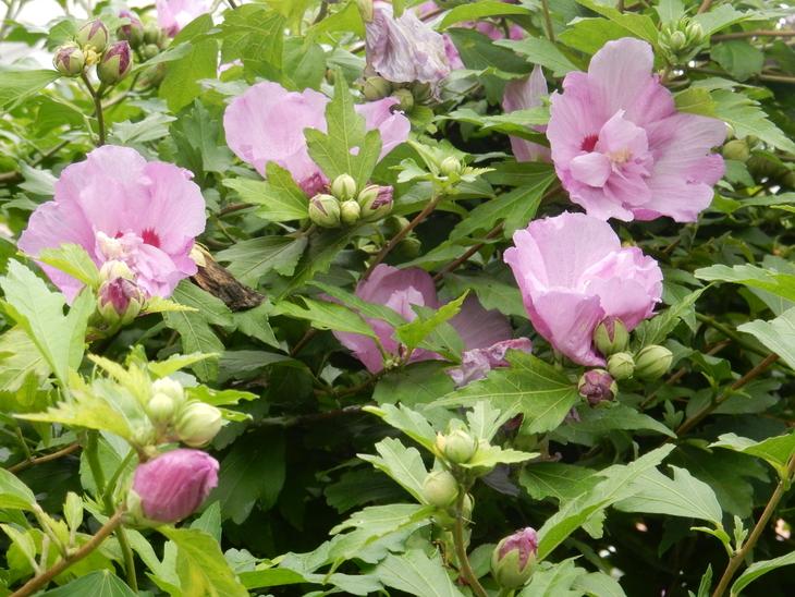 '16,7,3(日)木の次は花でしょ!_f0060461_9104779.jpg
