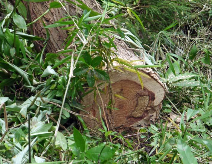 イロハモミジの下草刈りで成長の証確認:六国見山臨時手入れ_c0014967_1515641.jpg