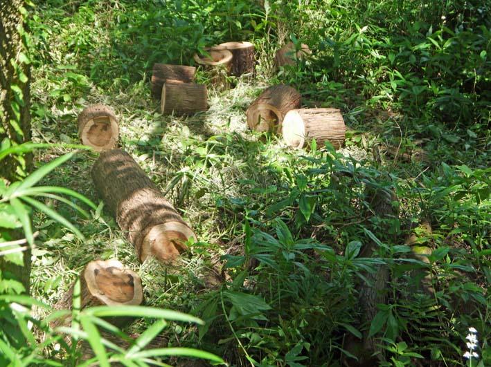 イロハモミジの下草刈りで成長の証確認:六国見山臨時手入れ_c0014967_153119.jpg