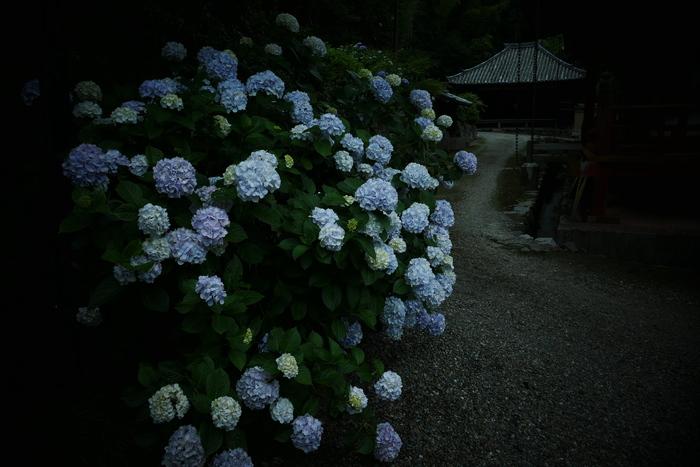 紫陽花 2016 矢田寺_f0021869_19213946.jpg