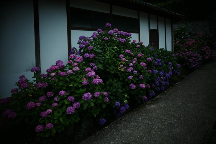 紫陽花 2016 矢田寺_f0021869_1922179.jpg