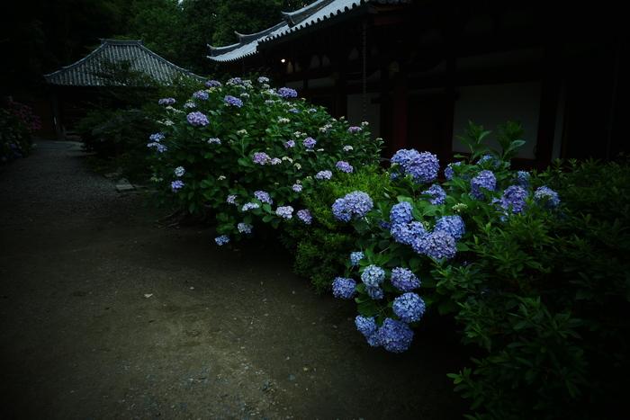紫陽花 2016 矢田寺_f0021869_19222949.jpg