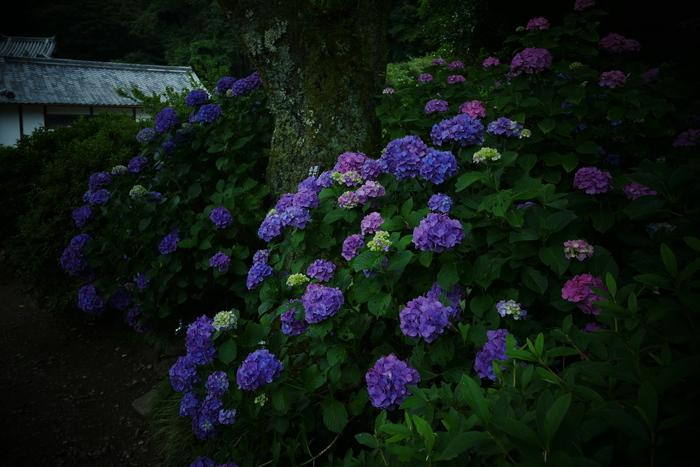 紫陽花 2016 矢田寺_f0021869_1925331.jpg