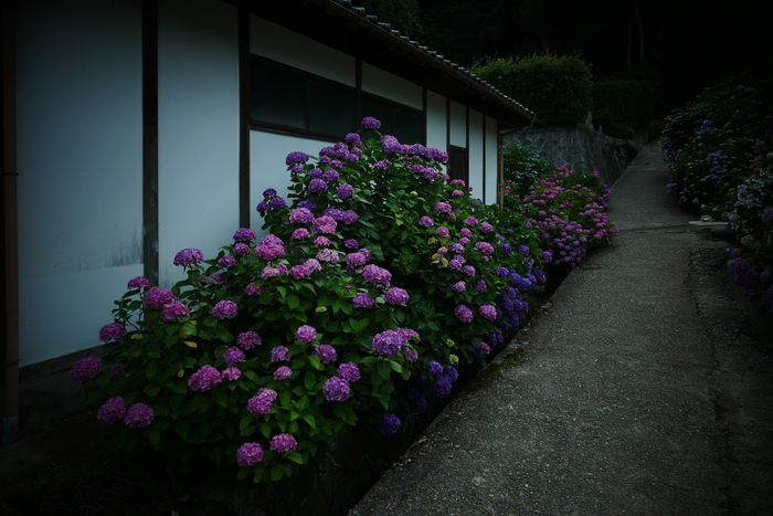 紫陽花 2016 矢田寺_f0021869_19263831.jpg