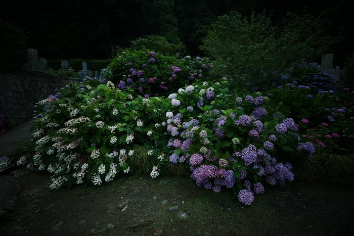 紫陽花 2016 矢田寺_f0021869_1926876.jpg