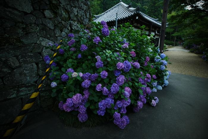 紫陽花 2016 矢田寺_f0021869_1928415.jpg