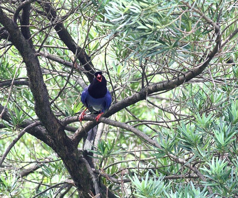 台湾鳥見旅行(その9)・・・_c0213607_19162978.jpg