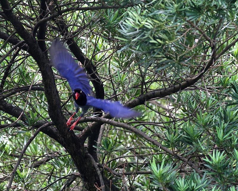 台湾鳥見旅行(その9)・・・_c0213607_19163329.jpg